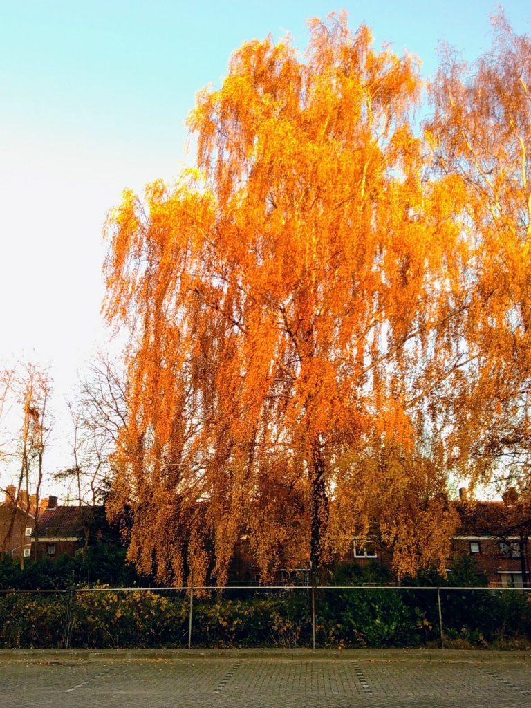 een grote treurwilg in de herfst, de takken hangen vol gouden bladeren