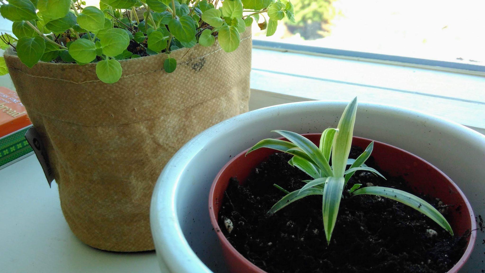 Over groene vingers en spider plants