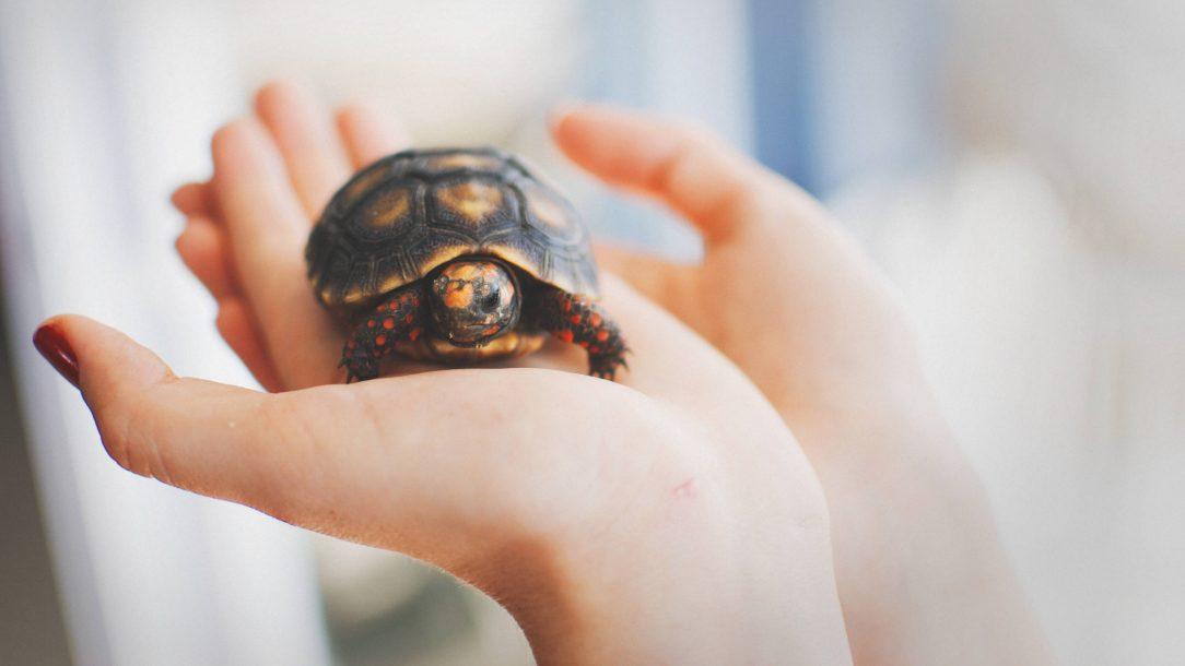 een klein schildpadje in de handpalm van een vrouw