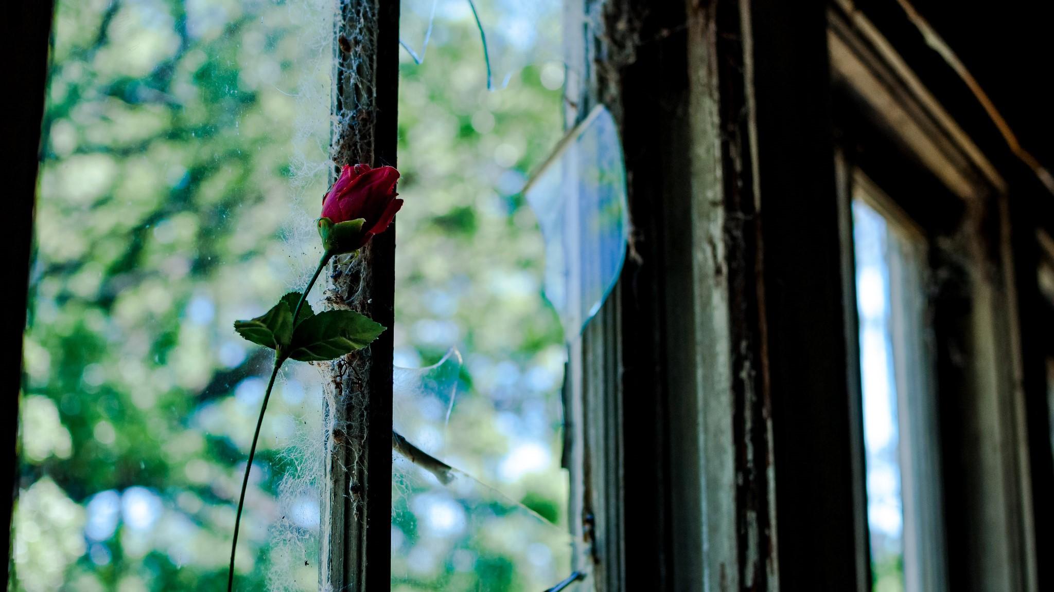 een roos voor een gebroken venster