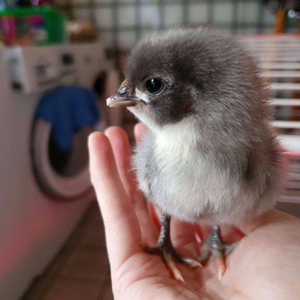 een close-up van een klein kuikentje dat op mijn hand staat
